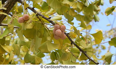 Ginkgo leafs and fruit - Autumn, leaves and fruit of the...