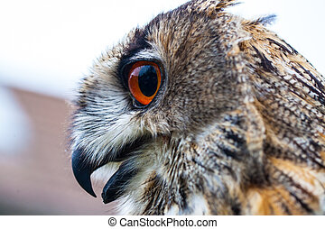 Horned Owl - Close up photo of a Horned Owl or Eagle owl...