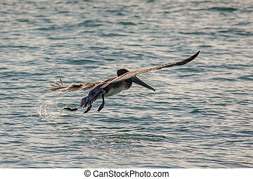 Brown pelican (Pelecanus occidentalis) in Miami Beach, USA