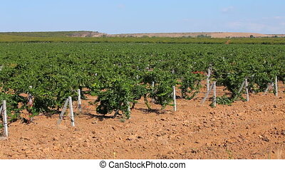 Vineyards - A large plantation of grapes. Moving camera.