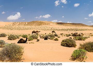 Herd of Arabian camels in the desert, Morocco - A herd of...