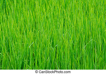 Detail of rice field in Thailand. - Detail of rice paddy...
