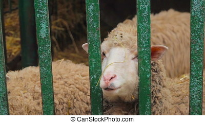 sheep in cage at county fair exhibition