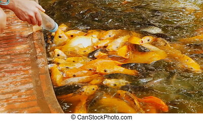 Feeding Koi fish with milk bottle in farm