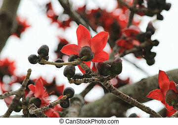 Bombax ceiba tree at nature - the Bombax ceiba tree at...