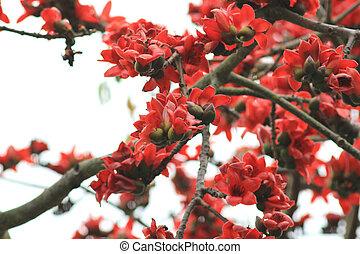 Bombax ceiba tree with red flower - the Bombax ceiba tree...