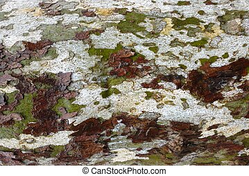 Wet sycamore tree bark - sycamore tree bark in the rain
