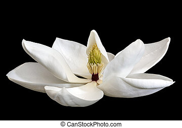 Magnolia Flower Isolated on Black - Magnolia flower isolated...
