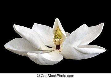 Magnolia Flower Isolated on Black - Magnolia flower isolated...
