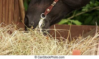 Horse chewing hay at rancho close up view