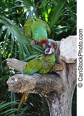 Parrots - Green Parrots