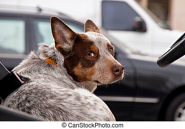 Australian cattle dog looks over his shoulder while behind...
