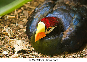 Ross's Turaco Musophaga rossae - This is the Ross's Turaco...