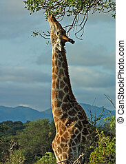 Giraffe in Africa - Giraffe in the bushveld of South Africa