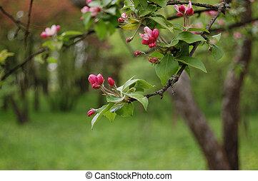 Blooming apple tree flowers