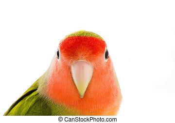 portrait lovebird on a white background