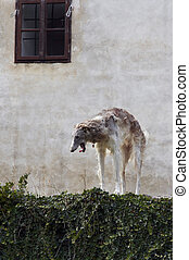 Russian wolfhound - Shot of the Russian wolfhound