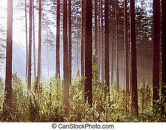 Autumn morning forest - Sun rays crossing a misty forest...