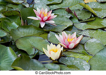 nenuphar on the water - Shot of the white water lily on the...