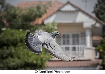 pigeon bird flying mid air ,for freedom , media and press...
