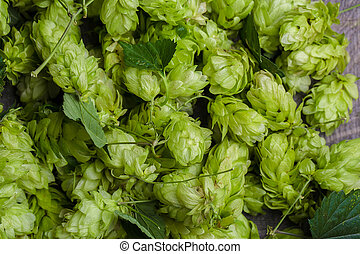 Green fresh hop cones background