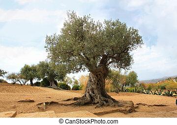 oliva, albero