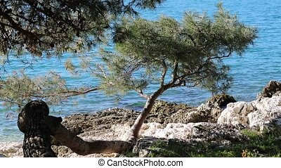 pine trees on the rocky beach with wind