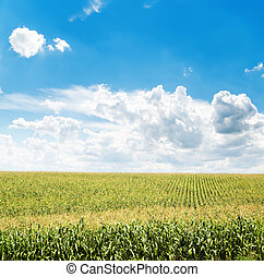 field with maize and clouds in blue sky