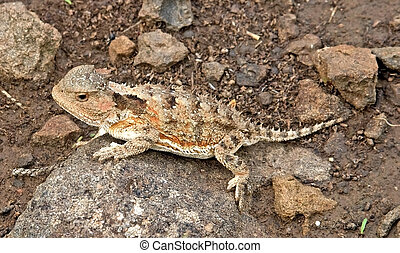 Greater Short-horned Lizard - Phrynosoma hernandesi - White...