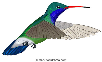 Broad-billed Hummingbird flying - Broad-billed Hummingbird -...