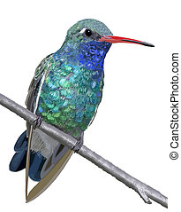 Broad-billed Hummingbird - male - Broad-billed Hummingbird -...