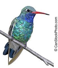 Broad-billed Hummingbird - male - Broad-billed Hummingbird -...