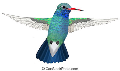 Broad-billed Hummingbird hovering - Broad-billed Hummingbird...