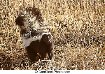 Striped Skunk in stubble field