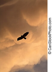 Red-tailed Hawk in flight in Saskatchewan