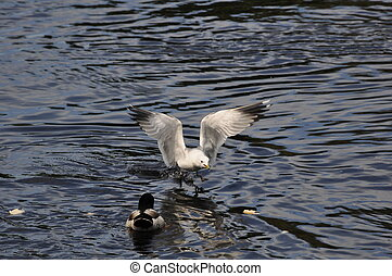 Common Gull (Larus Canus) in hunt for food on the River...