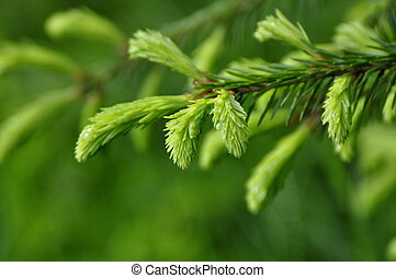 Spruce Needles - Needles of the Spruce in the Green Forest