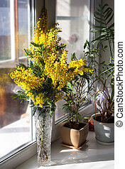 Mimosa Bouquet (Acacia dealbate) on the windowsill - Mimosa...