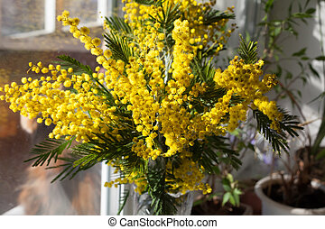 Mimosa Bouquet (Acacia dealbat) on a sunny day - Mimosa...