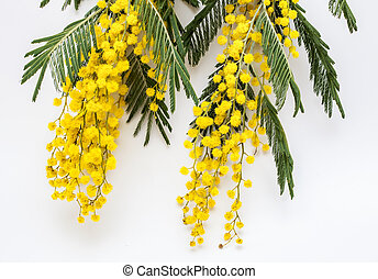Flowering branches of Mimosa (acacia dealbate). Spring...
