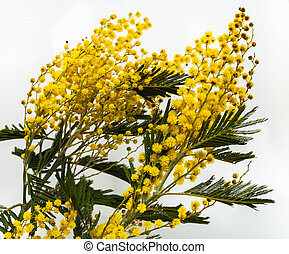 Fine yellow flowers Mimosa (acacia dealbata). Beautiful...