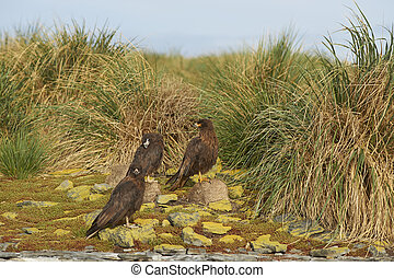 Group of Striated Caracara