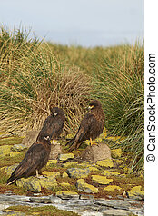 Group of Striated Caracara (Phalcoboenus australis) standing...