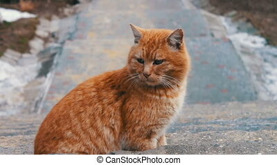 Big red homeless cat