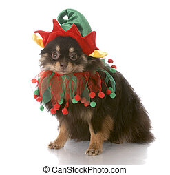 dog dressed up as santa elf - brown and tan pomeranian puppy...