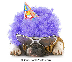 birthday dog - english bulldog dressed up like a clown with...