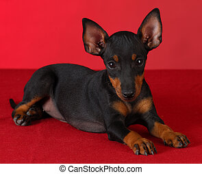 Manchester, terrier, perrito