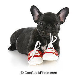 naughty puppy - french bulldog puppy chewing on pair of red...