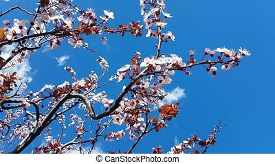 Cherry Blossom in Spring - Spring Cherry Blossoms In Japan -...