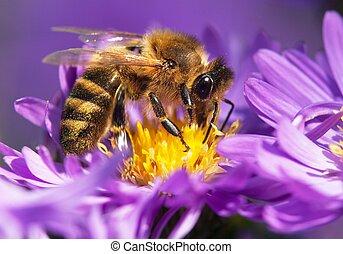 honey bee sitting on the violetflower - detail of honeybee...